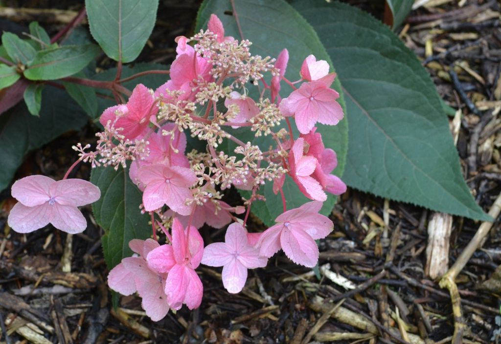 Hydrangea asper Hot Chocolate : Pot de 3 litres