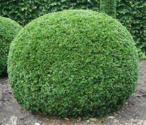 If Commun : Taille 60/80 cm - Pot de 4 litres
