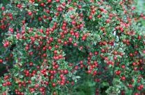 Cotoneaster rampant 'Eichholz' : Godet de 9 x 9 cm