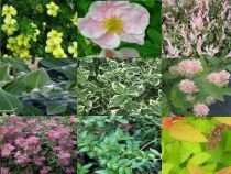 Kit haie basse mixte charme et couleur : 17 Plants - Taille 10/15 cm - Godet 9x9 cm