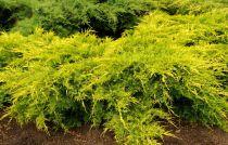 Juniperus media 'Old gold' / Genévrier à feuillage jaune rampant : Taille 10/15 cm - Godet de 9x9 cm