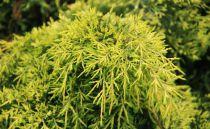 Juniperus media 'Old gold' / Genévrier à feuillage jaune rampant : Taille 20/30 cm - Pot de 3 litres