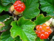 Rubus 'Betty Ashburner' : Godet de 9x9 cm