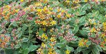 Sedum kamtchaticum variegatum : Godet de 9x9 cm