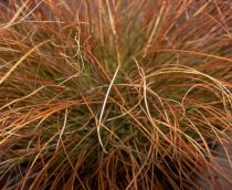 Laîche Orange : Godet de 9x9 cm