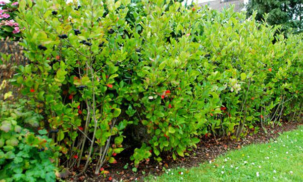 Aronia : Taille 30/50 cm - Racines nues