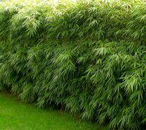 Bambou Fargesia Rufa : proposé en taille 60/+cm - 100/+cm - 125/+cm - 150/+cm