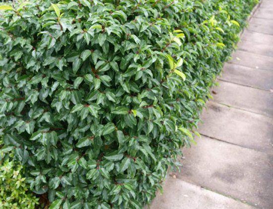 prunus lusitanica angustifolia laurier du portugal angustifolia taille 40 60 cm pot de 3. Black Bedroom Furniture Sets. Home Design Ideas