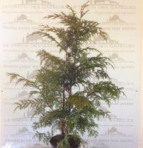 Faux-cyprès de Nootka : Taille 60/80 cm - Pot 3 litres