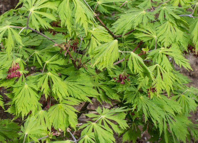 Érable du Japon à feuilles d'aconit : Taille 30/+ cm - Pot de 5 litres