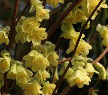 Corylopsis Pauciflora - Faux Noisetier : Taille 30/50 cm - Pot de 2 litres
