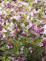 Weigela Florida 'Nana variegata' : Taille 15/20 cm - Godet de 9x9 cm