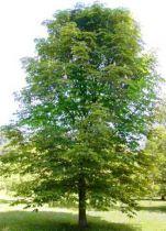 Châtaignier : Taille 50/70 cm - Lot de 20 pieds - Racines nues