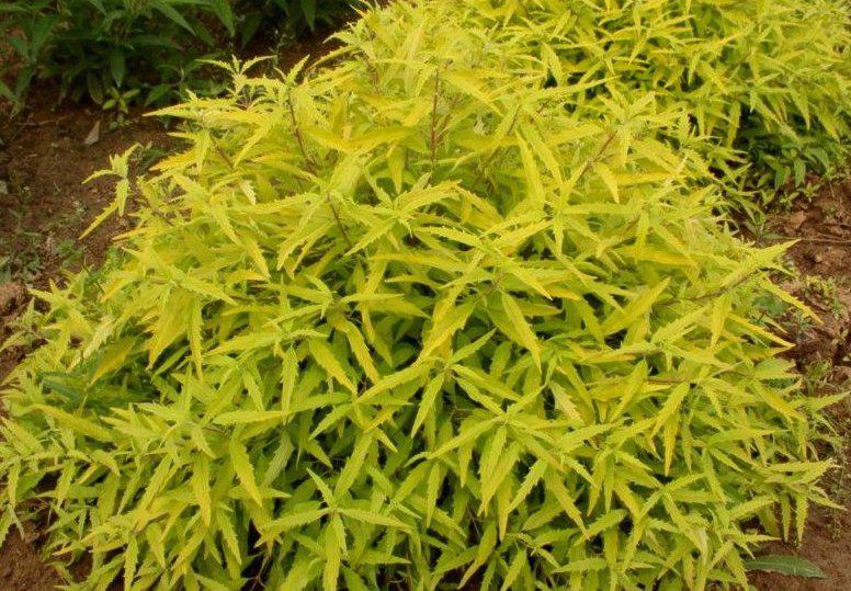 Caryopteris (x) clandonensis ' Worcester Gold ' : Taille 30/40 cm - Pot de 3 litres