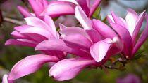 Magnolia 'Betty' : Taille 60/80 cm - Pot de 5 litres