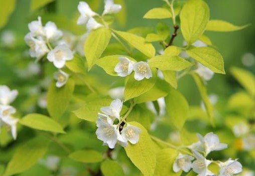 Seringat des jardins doré : Taille 40/60 cm - Racines nues