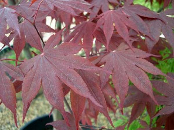 Acer palmatum bloodgood erable du japon 39 bloodgood 39 taille 20 30 cm godet 9x9 cm jardin - Erable du japon bloodgood ...