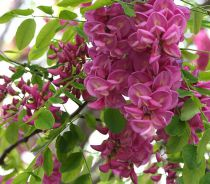 Acaciacasque rouge :haute tige - circonférence du tronc 6/8 cm - racines nues