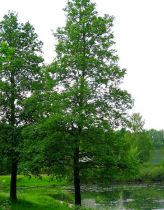 Aulne àfeuillesdecœur/AulnedeCorse: taille 60/90cm - racines nues