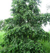 Aulne blanc / Alnus Incana: taille 60/90 cm - racines nues