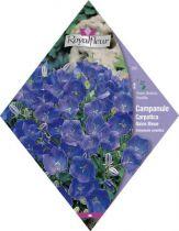 CAMPANULE Carpatica Naine Bleue