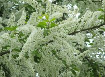 Cerisier à grappes / Merisier à grappes : taille 90/120 cm - racines nues