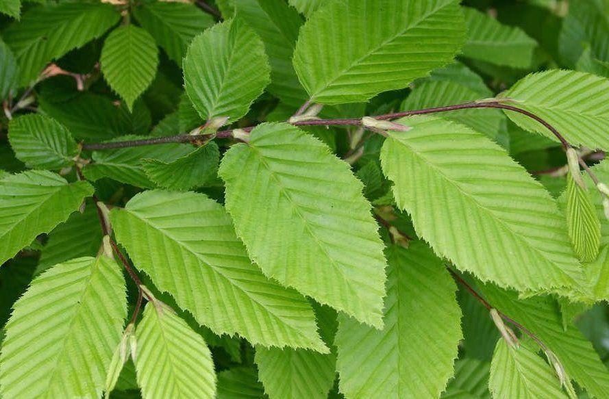 Charmille : taille 100/125 cm - Racines nues - Charme commun / Carpinus betulus