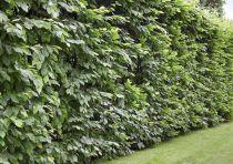 Charmille : taille 125/150 cm - Racines nues - Charme commun / Carpinus betulus