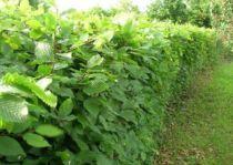 Charmille : Taille 40/60 cm - Pot de 2 litres - Charme commun / Carpinus betulus