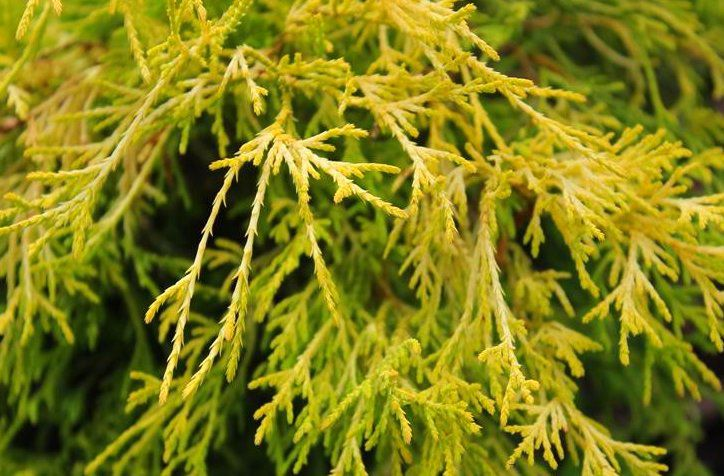 Cyprès Sawara \'Filifera Aurea\' / Chamaecyparis pisifera \'Filifera Aurea\' : taille 20/30 cm - pot de 2.5 litres