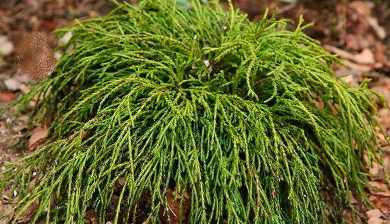 Cyprès Sawara \'Filifera gracilis\' / Chamaecyparis pisifera \'Filifera gracilis\' : taille 10/15 cm - godet 9x9 cm