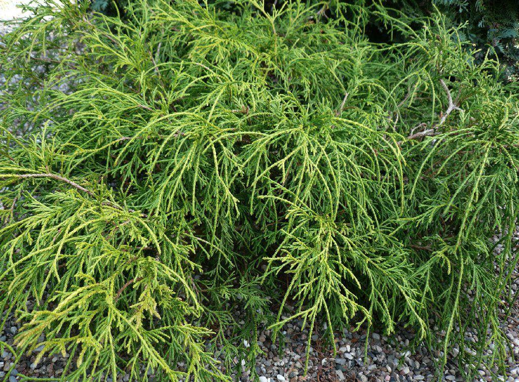 Cyprès Sawara \'Filifera Nana\' / Chamaecyparis pisifera \'Filifera Nana\' : taille 20/30 cm - pot de 3 litres