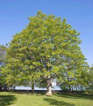 Érable Sycomore : taille 100/120 cm - racines nues