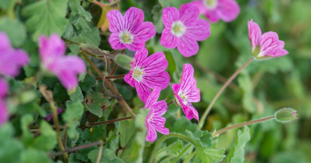 "Erodium ""Bishop\'s Form\"" : godet de 9x9 cm - 0,6 litre"