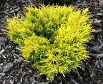 Genévrier horizontalis 'Lime Glow' : taille 15/20 cm - pot de 2,5 litres