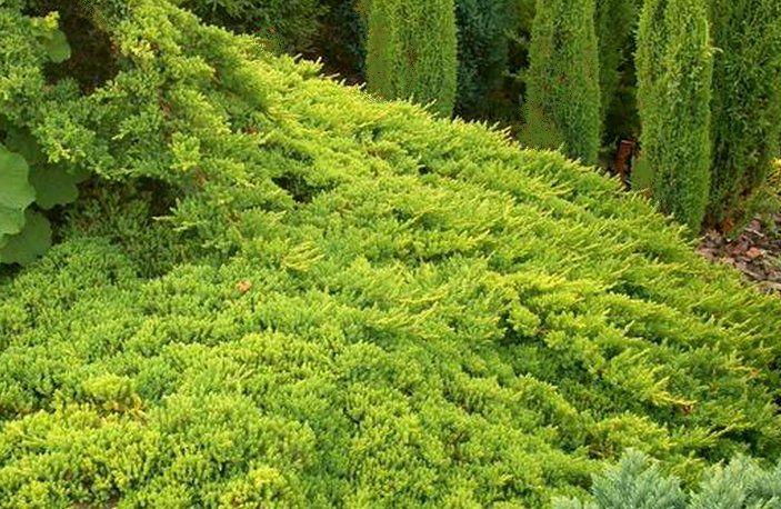 Genévrier rampant procumbens Nana : taille 10/15 cm - godet 9x9 cm