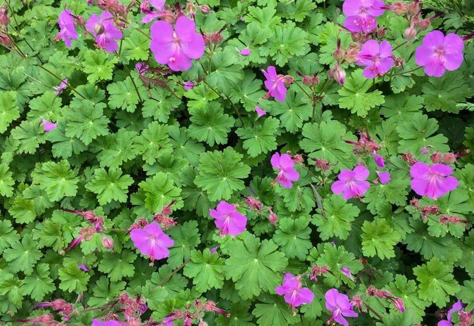 Geranium cantabrigiense \'Karmina\' : godet de 9x9 cm - 0,6 litre