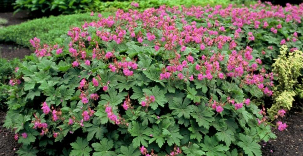 Geranium macrorrhizum \'Bevan\'s Variety\' : Godet de 9x9 cm - 0,6 litre