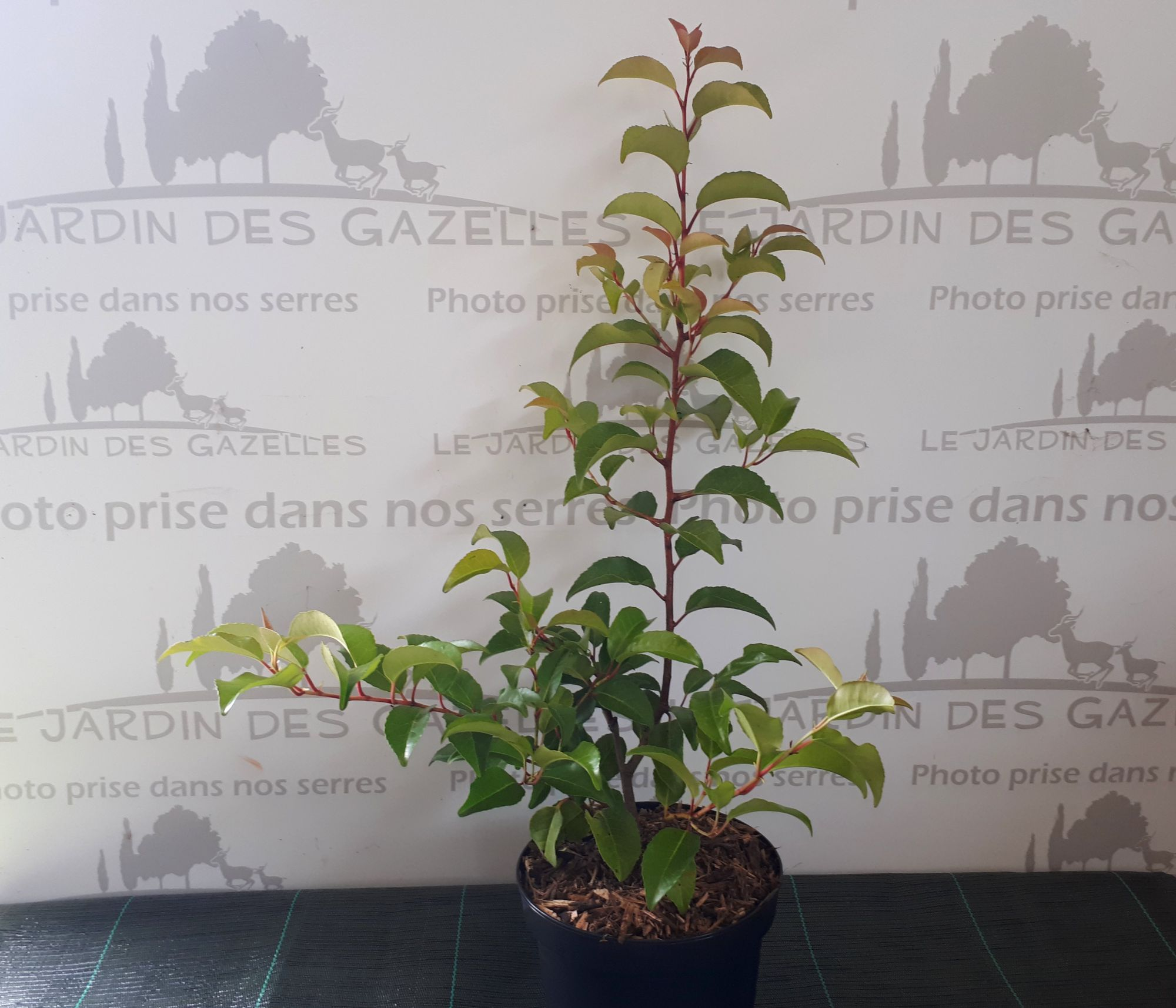 Laurier des Açores - Prunus lusitanica subsp. azorica Tico : taille 40/60 cm - pot de 3 litres