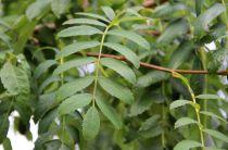 LeCormierouSorbierDomestique : taille 60/90 cm - racines nues, taille 60/90 cm, racines nues : à l\'unité ou par lot de 5 pla
