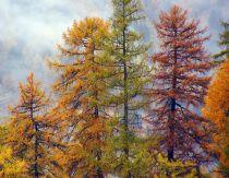 Mélèze d\' Europe : taille 60/90 cm - racines nues
