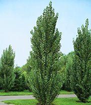 Peuplier noir d\'Italie : Taille 80/100 cm - Lot de 20 pieds en Racines nues