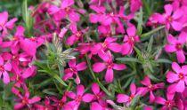 Phlox mousse \'Atropurpurea\' : Godet de 9x9 cm - 0.6 litre
