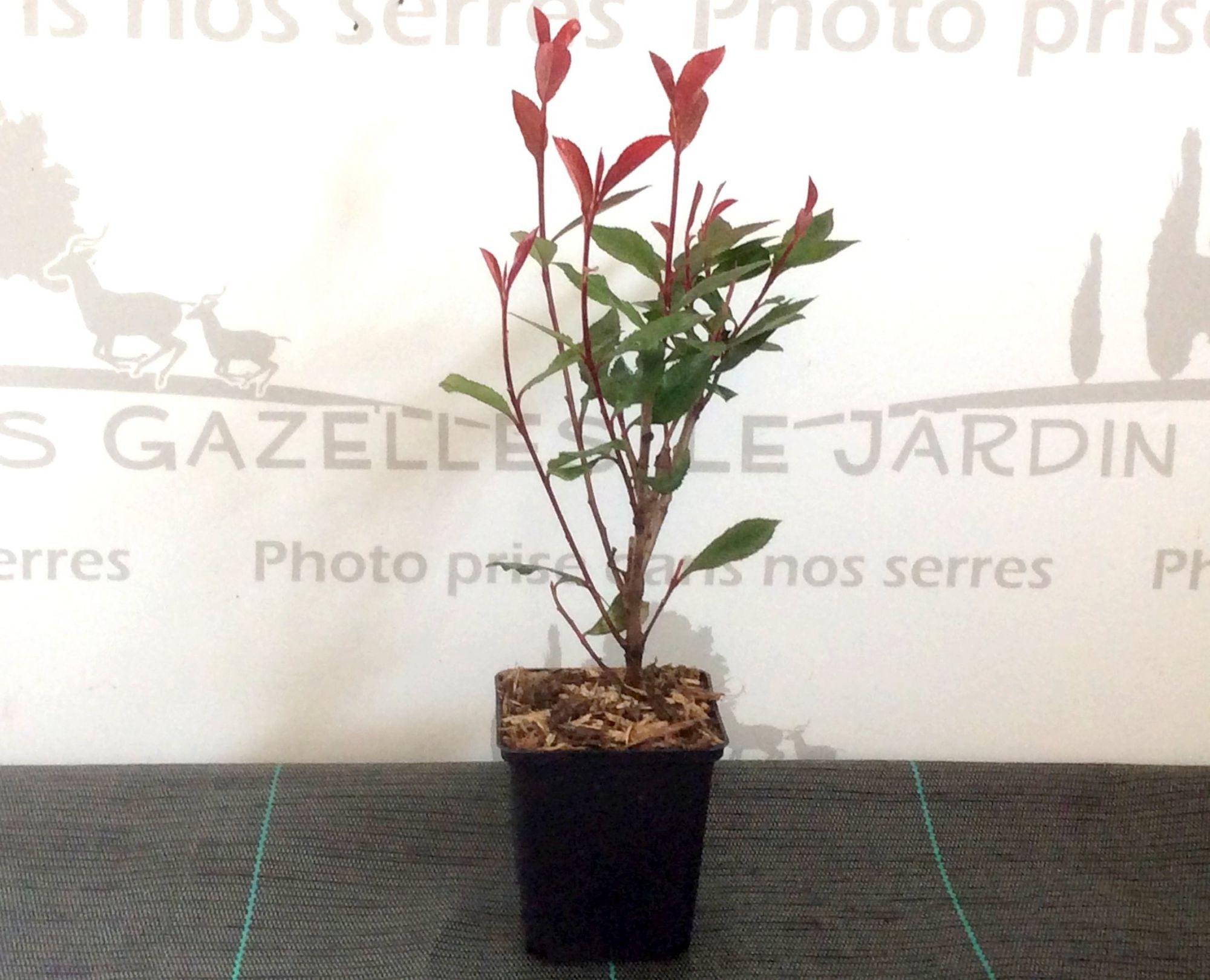 Photinia Carré Rouge - Photinia x fraseri \'Carré Rouge\' : taille 20/30 cm - godet 9x9 cm