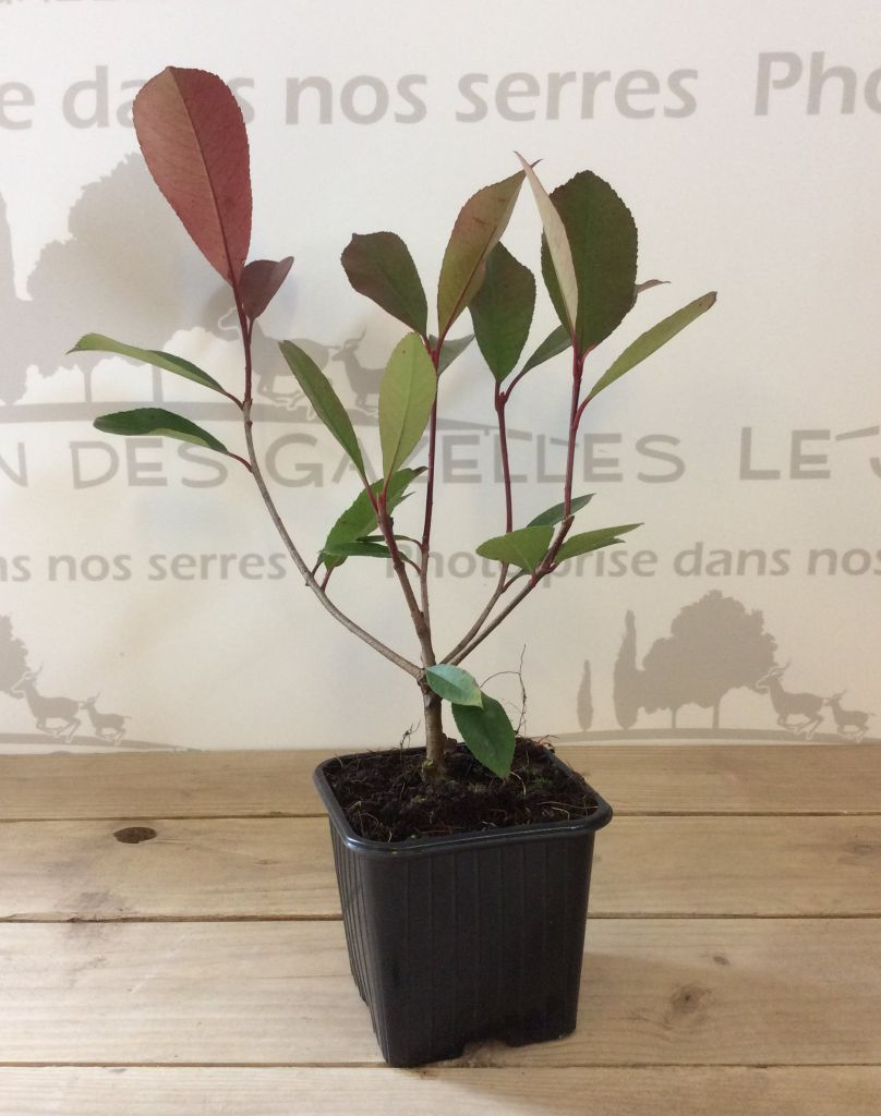 Photinia Fraseri \'Red Robin\' : Taille 20/30 cm - Godet 9x9 cm