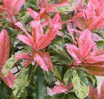 Photinia serratifolia Pink Crispy ® : taille 30/50 cm - pot de 3 litres