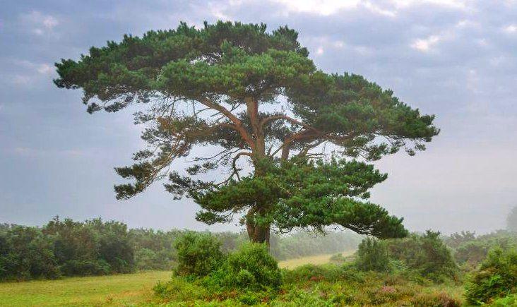 Pin Sylvestre - Pinus Sylvestris : taille 30/40 cm - racines nues