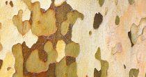 Platane à feuilles d\'érable, Platane commun, Platanus x Hispanica : taille 60/90 cm - racines nues