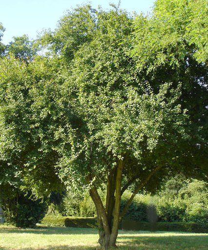 Prunier Myrobolan - Prunus Cérasifera - Cerisier à fleur : taille 60/90 cm - Racines nues