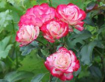 Rosier \'Jubilé du Prince de Monaco\'® Meisponge : plant à racines nues - ramifié 3 branches et plus